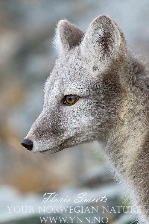 Arctic fox cub portret