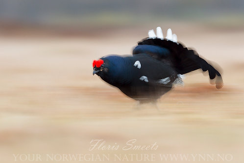 Black grouse running at full speed