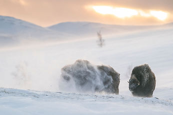 Musk-oxen in winter in Dovrefjell Norway