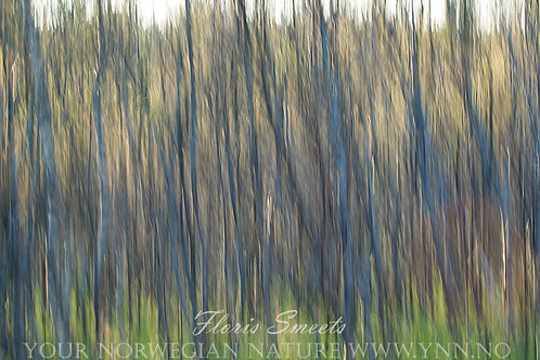 Birches abstract 1