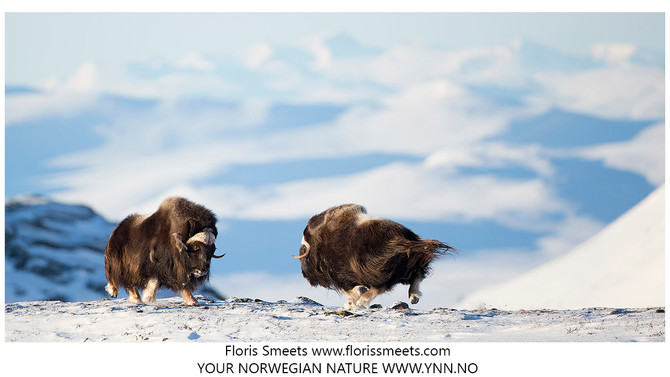 Trip report. MUSK-OXEN IN WINTER CONDITIONS 2017 #3