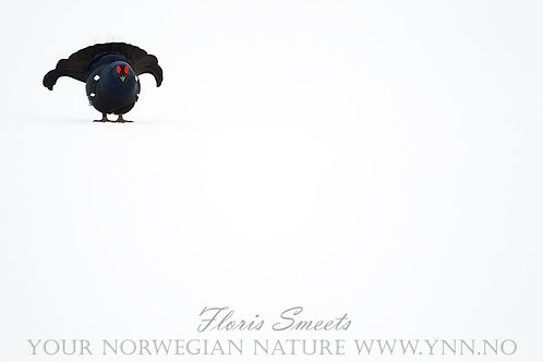 Black grouse on snow