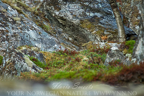 Red fox in rock landscape