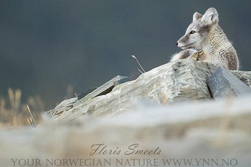 Arctic fox cub 2