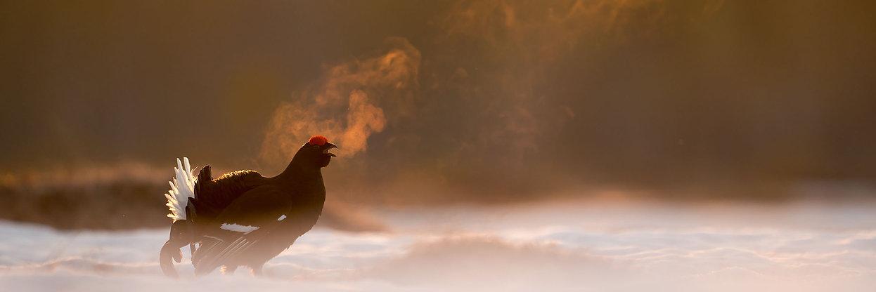Black grouse.jpg
