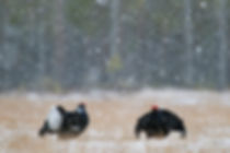 Displaying black grouse