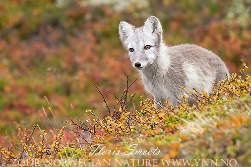 Arctic fox cub with fall colors