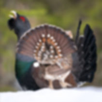 Capercaillie display