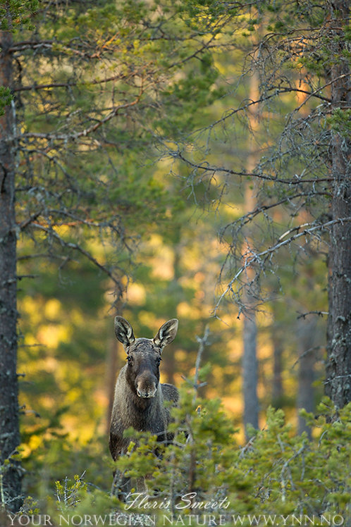 Moose in sunset 2