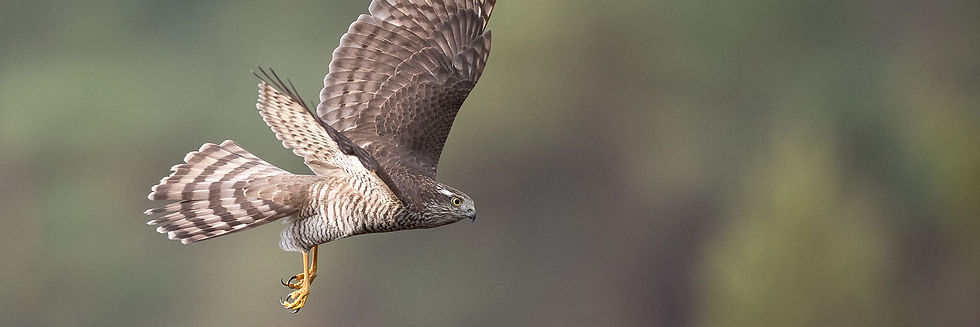 Sparrowhawk hunting