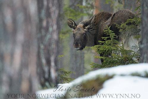 Moose calv