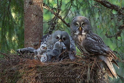 Great grey owl family on the nest