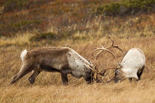 Reindeer in fight 2