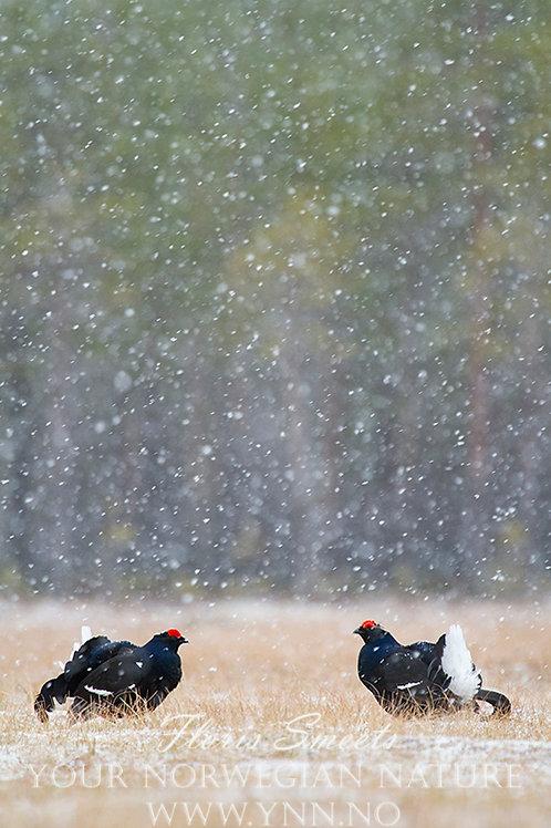 Black grouse in snowfall