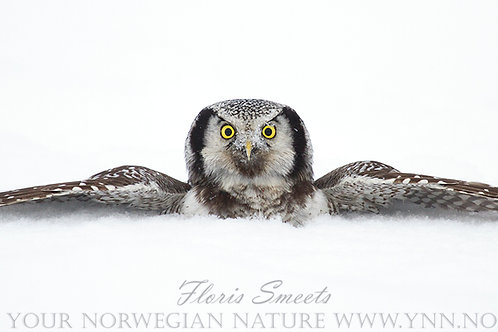 Northern hawk owl in the snow