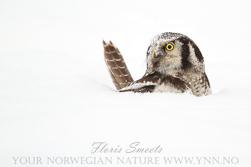 Northern hawk owl in the snow 2
