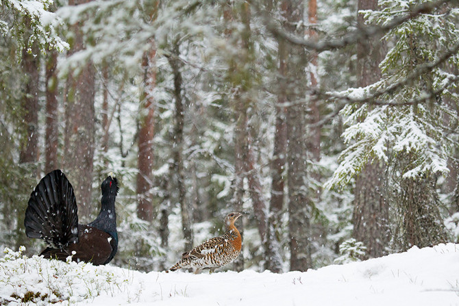Manual: How to find a capercaillie lek and how to photograph on the lek.