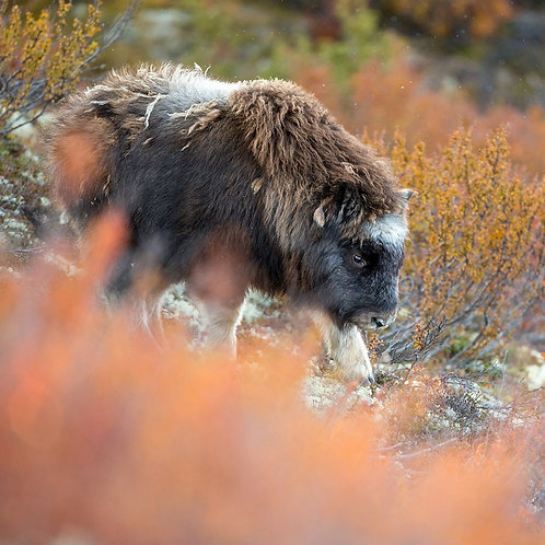 "Booking deposit ""Musk-oxen, moose, reindeer and autumn landscapes"""