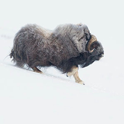 "Booking deposit ""Musk-oxen in winterconditions tours"""