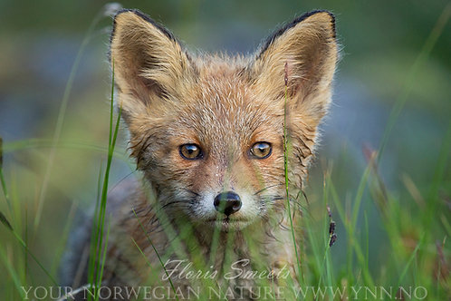 Red fox cub portret