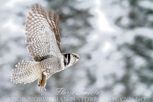 Northern hawk owl with prey
