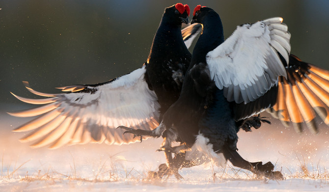 PHOTOGRAPHING FIGHTING BLACK GROUSE WITH THE SONY A9 AND SONY 400MM F2.8 GM OSS
