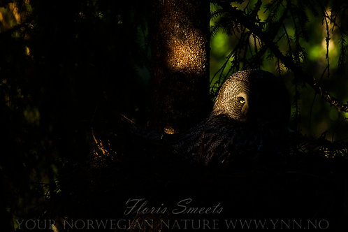 Great grey owl on the nest