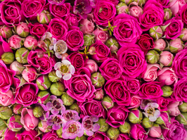 Fuscia Pink Rose Wall