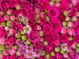 Fuscia Pink Rose Wall