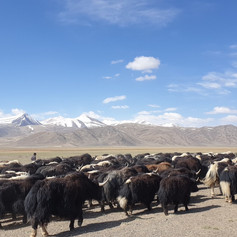 Tajik Yaks, Pamir Highway