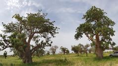 Baobabs in Senegal