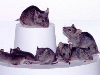 Rata estéril dá à luz com ovário feito em impressora 3D