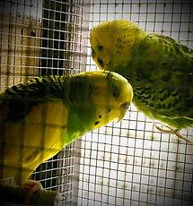 Parent Parakeet .jpg