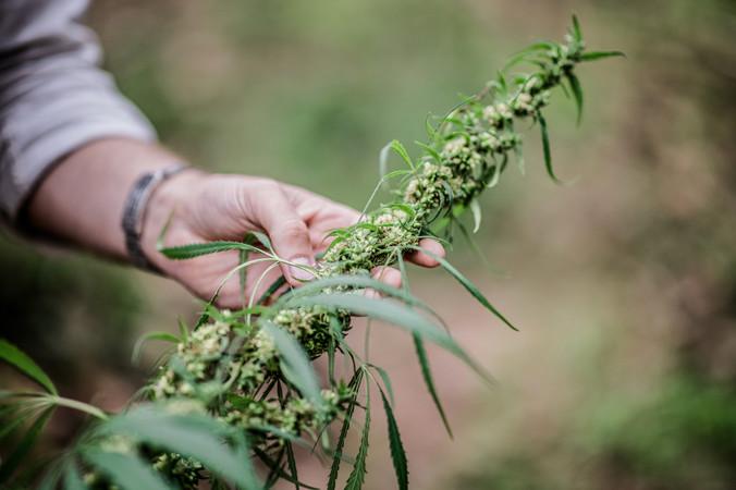 Handerlesene Pflanzen garantieren höchste Qualität.