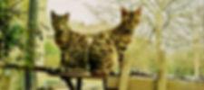 gatto bengala allevamento Bologna