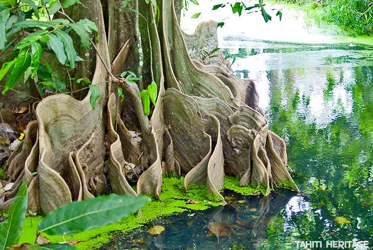 Mape ou chataigner tahitien arbre de Polynésie française