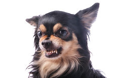 Angry chihuahua dog growls and scraggles