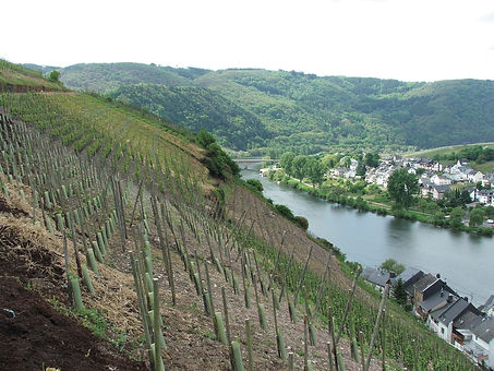 Riesling_Luxembourg.jpg