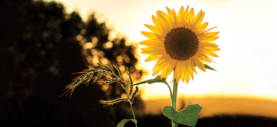 Sunset with a single sunflower in the foreground