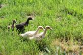DucklingsDixiGlen.jpg