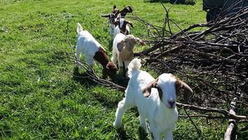 bottle fed goats for sale .jpg