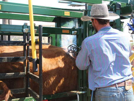 A True Cattle Branding Experience