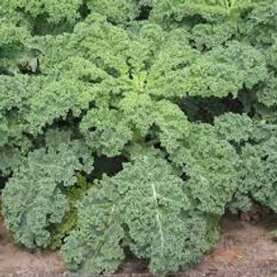 Kale Rizado Westlandse Herftst