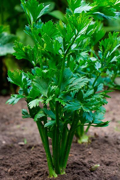 Apio Verdura de Cortar para Verde