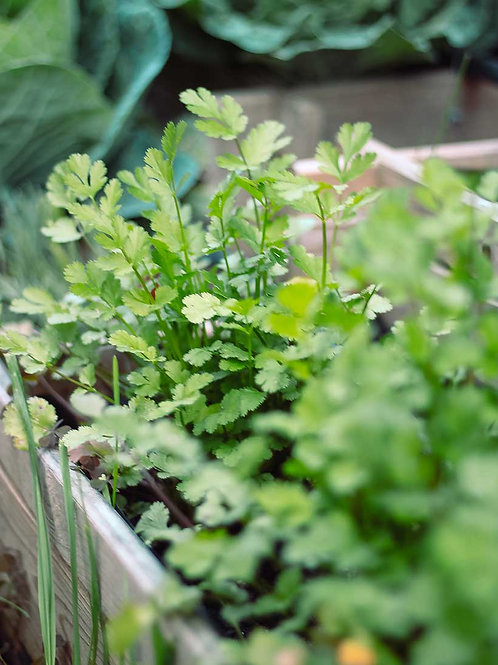 Cilantro Cultivado