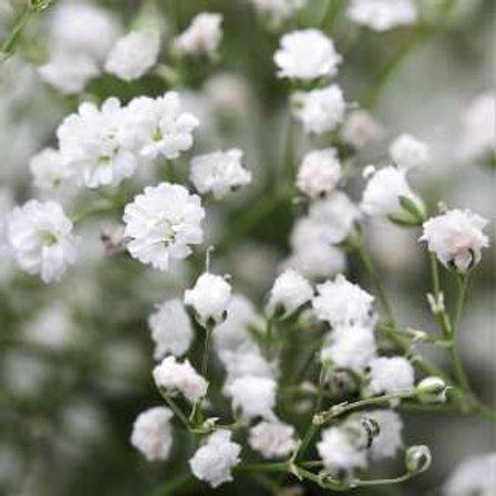 Ilusión Paniculata Prenne
