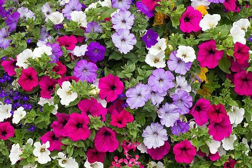 Petunia colores variados Multiflora