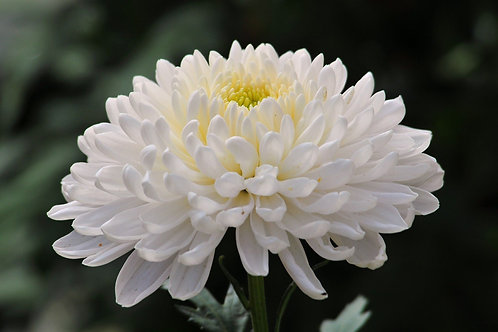 Crisantemo Blanco Enano