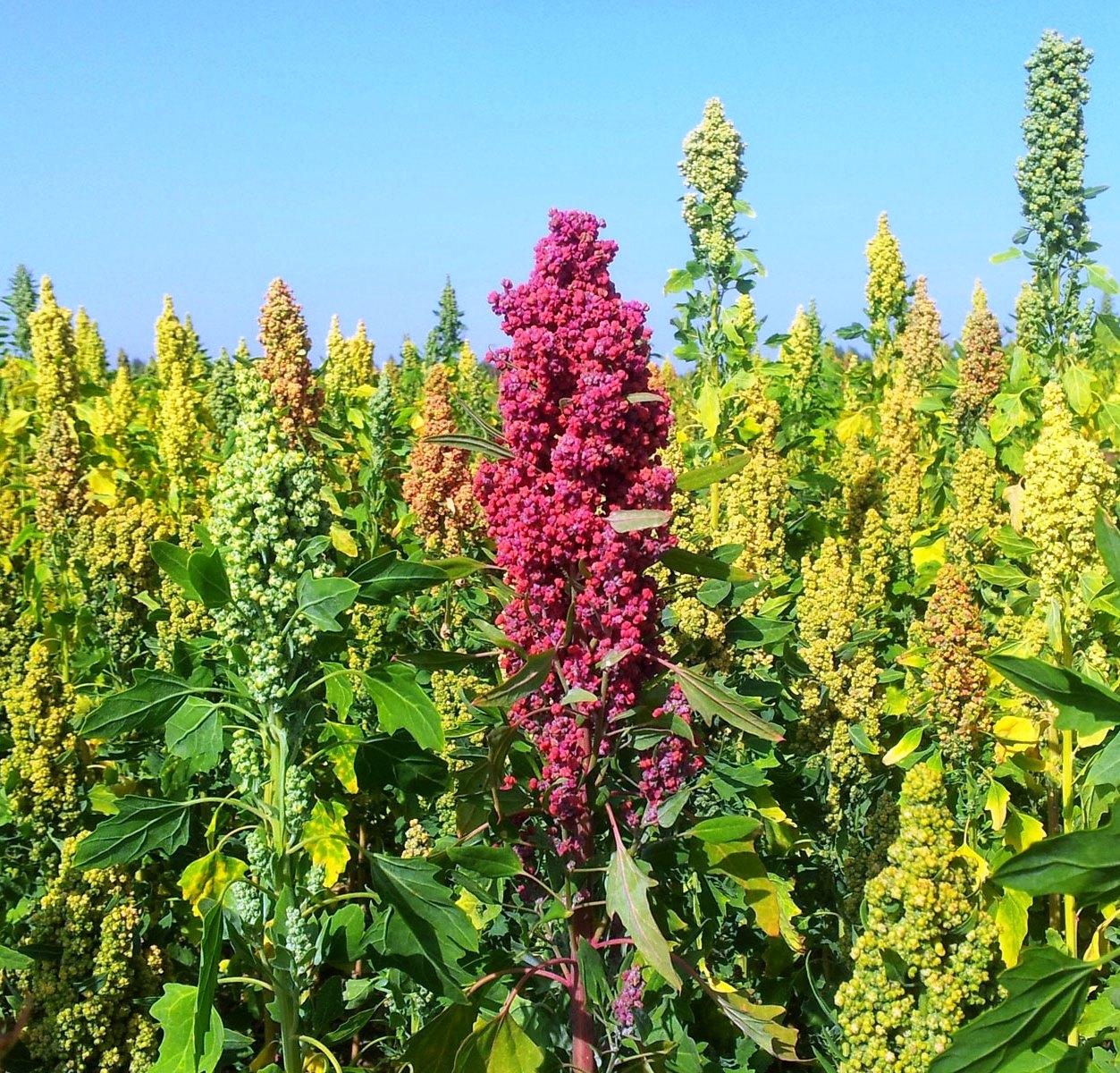 Quinoa-field-1800x1200