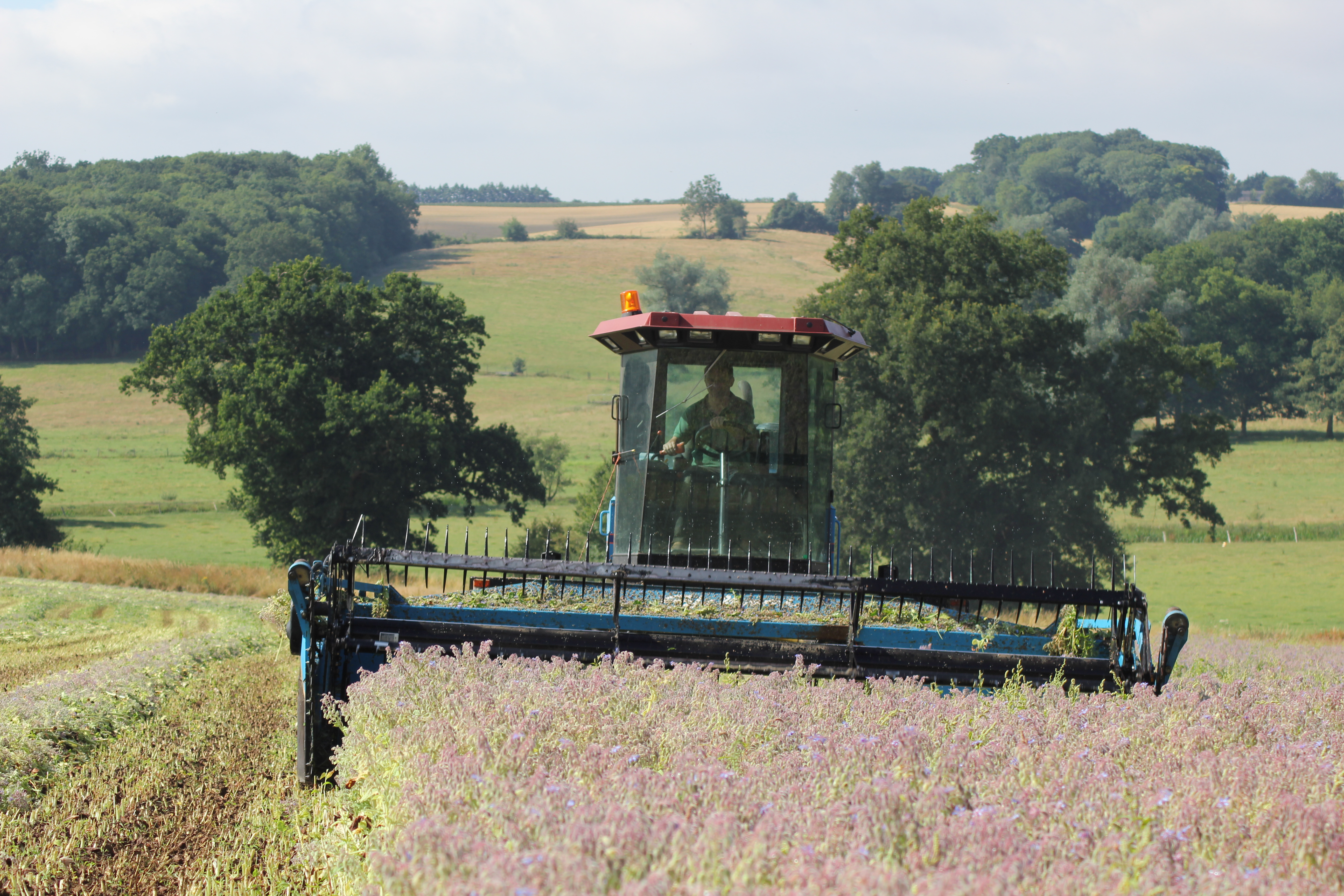 Borage Harvesting